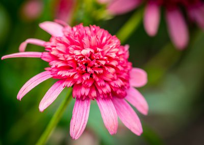 Southern Belle Coneflower