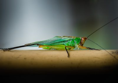 Green Tree Cricket