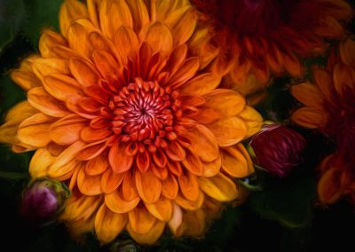 Chrysanthemum (Topaz Impression)