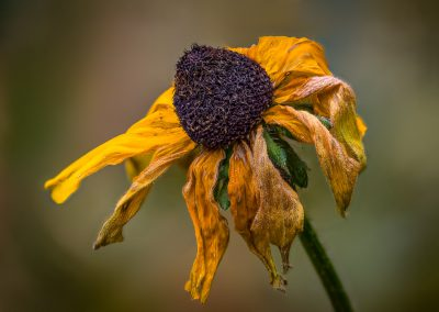 Autumn Rudbeckia