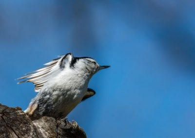 Nuthatch Taking Flight