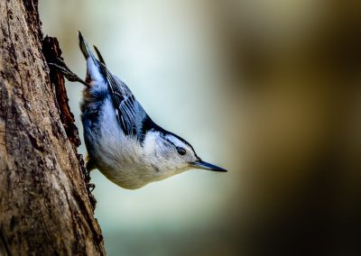 White Breasted Nuthatch #2