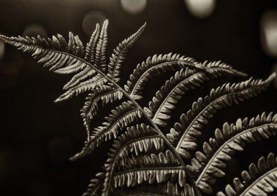 Sepia Fern