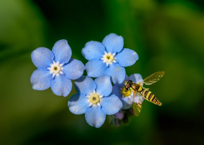 Hoverfly on Forget-Me-Nots