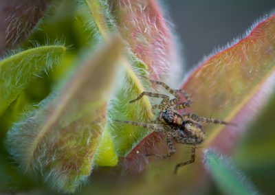 Spider on Euphorbia