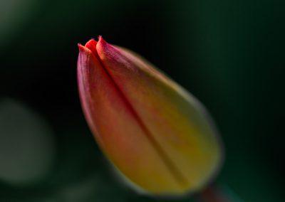 Tulip Bud #2