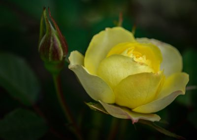 First Yellow Rose of 2017
