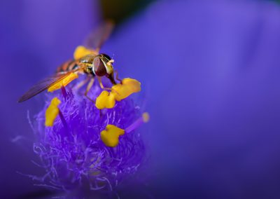 Hoverfly on Spiderwort