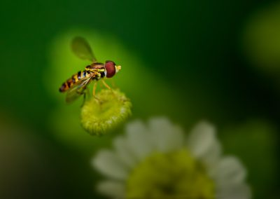 Hoverfly on Feverfew
