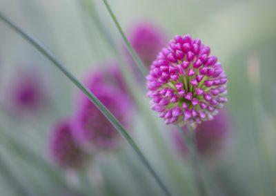Allium Sphaerocephalon #2