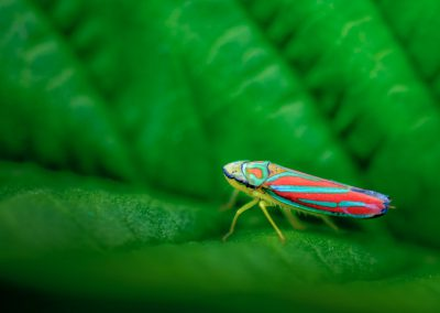 Red-banded Leafhopper