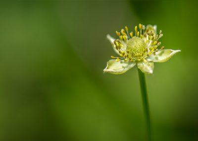 Canada Anemone (wildflower)