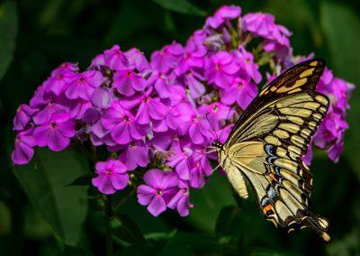 Giant Swallowtail #2