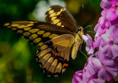 Giant Swallowtail #3