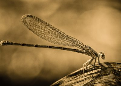 Damselfly in Sepia