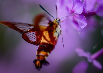 Hummingbird Moth #6