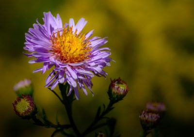Aster #2
