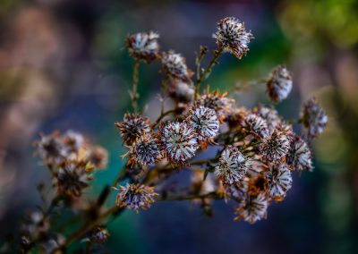 Purple Aster Seed Heads