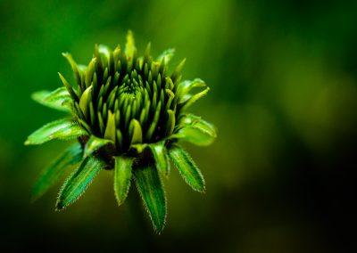 Echinacea (Raynox)