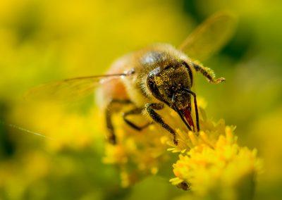 Honeybee #9