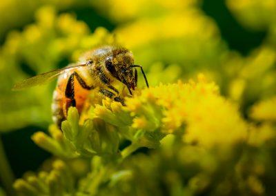 Honeybee #10