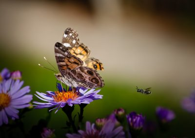 Painted Lady with Wasp