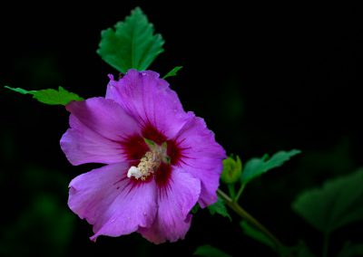 Rose of Sharon #4