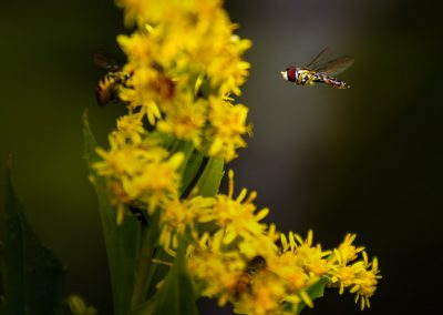 Hoverfly #18