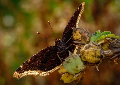 Mourning Cloak #1