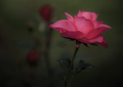 Pink Rose #3