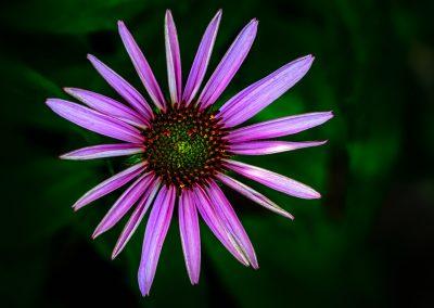 Echinacea #9