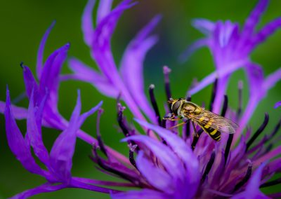 Hoverfly #20