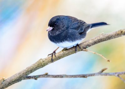 Dark-eyed Junco Male #2