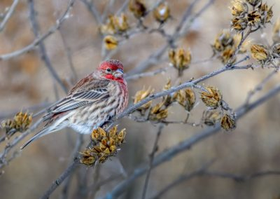 House Finch #5