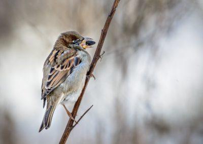 House Sparrow #4