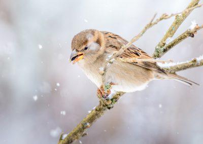 House Sparrow #5