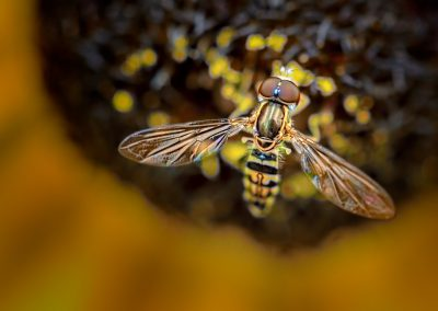 Hoverfly #12