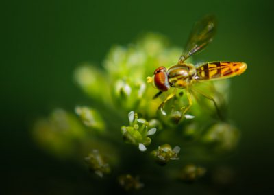 Hoverfly #21