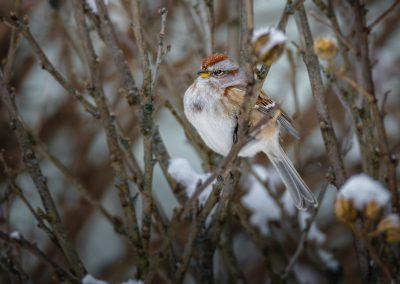 Tree Sparrow #2