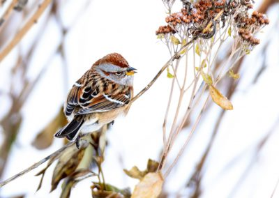 Tree Sparrow #4