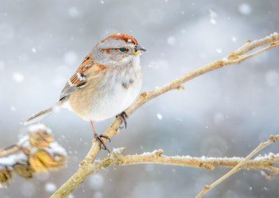 Tree Sparrow #5