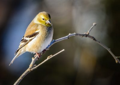 American Goldfinch (male) #4