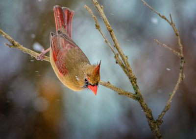 Cardinal #2 (female}