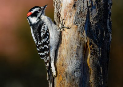 Downy Woodpecker #5
