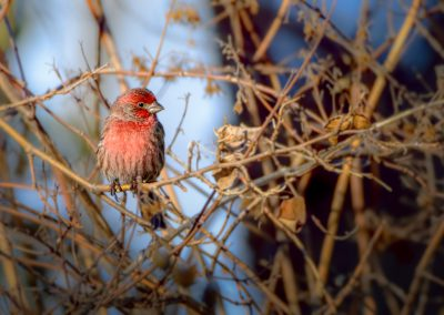 House Finch #4