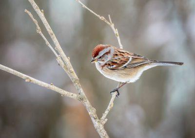 Tree Sparrow #6