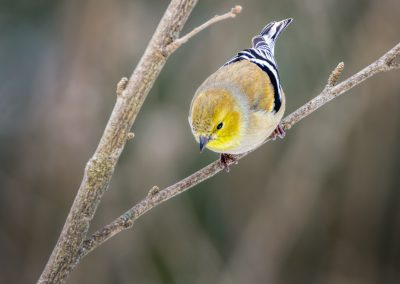 American Goldfinch (male) #5