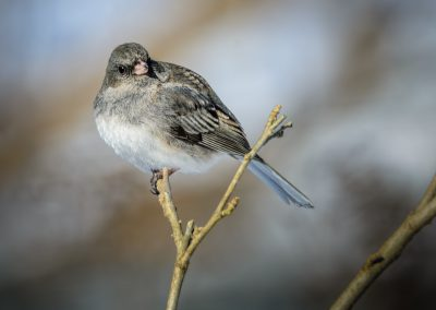 Dark-eyed Junco (female) #4