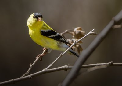 American Goldfinch #6 (male)