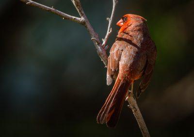 Cardinal #3 (male)